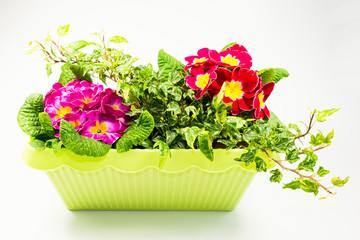 Blumenkasten dekoriert mit Primeln und Efeu