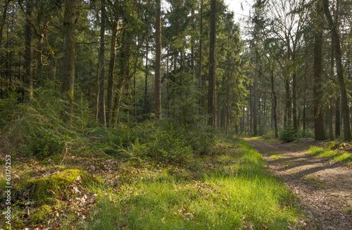 Path through a pine forest in spring