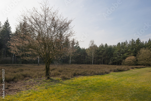 Tree in a field with heath in spring