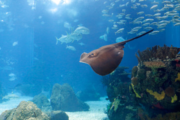 Lisbon Oceanarium ray