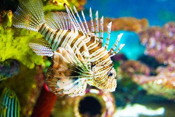 Color lionfish swims behind sea background.