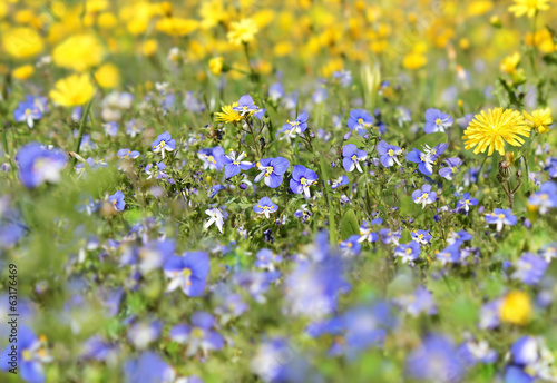 blue wildflowers on blurred background with yellow flowers