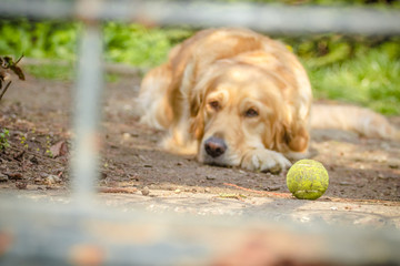 Sad golder retriever