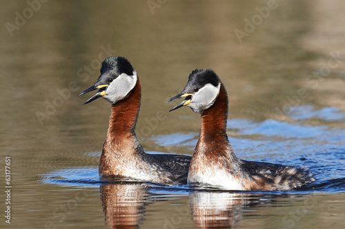 Red Necked Grebe (Podiceps grisegena)