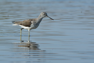 Common Greenshank (Tringa nebularia) wading through water