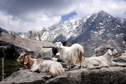 Fotobehang Nepal Pashmina goat