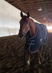 Chestnut horse in blanket