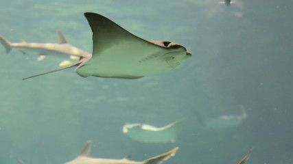 Manta Ray swimming in aquarium
