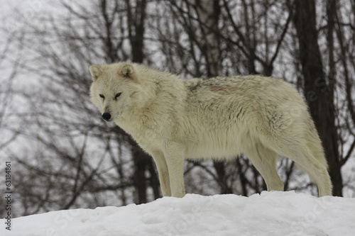 Arctic wolf watching