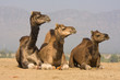 Camel at the Pushkar Fair, India