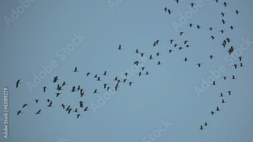 large flock of storks in sky - migration of birds