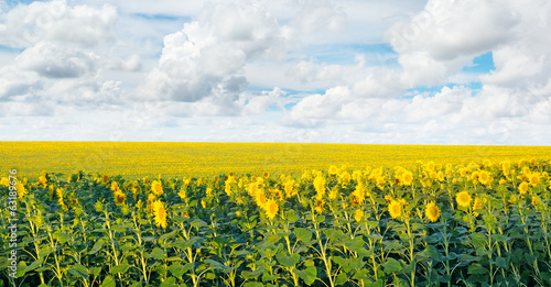 field with blooming sunflowers and blue sky