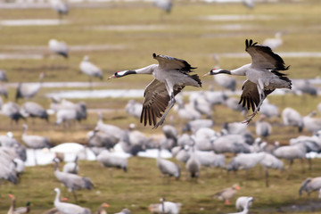 Two Crane birds landing at a field