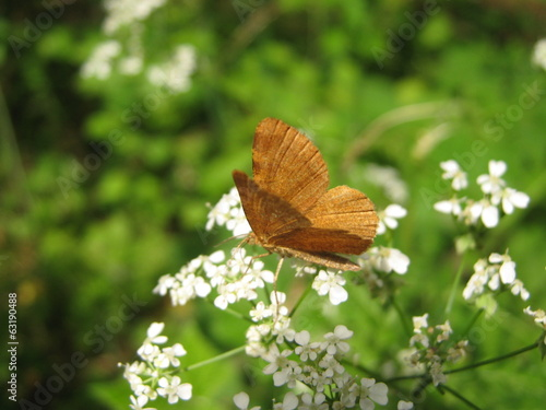 Brown butterfly on white flowered bush