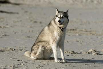 Husky dog on beach