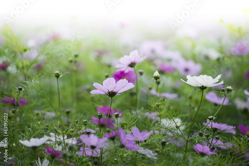 meadow covered in cosmos,