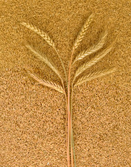 image of on wheat on the seeds closeup
