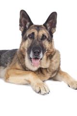 Alter deutscher Schäferhund - Portrait auf weiß