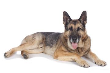 Alter deutscher Schäferhund liegend - Portrait auf weiß