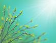 Obrazy na płótnie, fototapety, zdjęcia, fotoobrazy drukowane : Green buds and young leaves of birch.