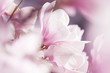 canvas print picture - Blühende Magnolie