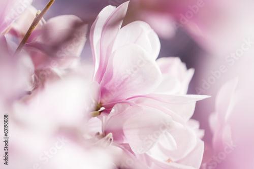 canvas print picture Blühende Magnolie