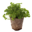 green curly parsley