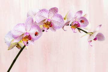 Pink orchid with ladybirds on a pink background.