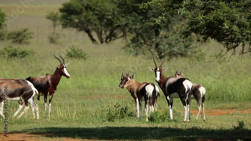 Herd of bontebok antelopes in natural habitat
