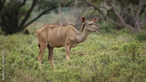 A female kudu antelope in natural habitat, Mokala National Park