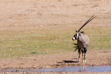 Thirsty Oryx drinking water at pond in hot and dry desert