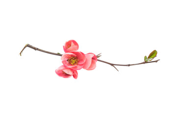 Japanese quince branch blossom isolated on white