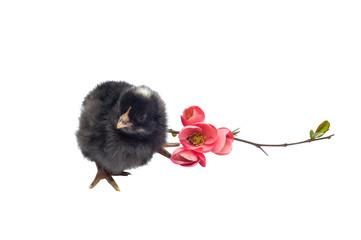 Black newborn baby chicken isolated on white