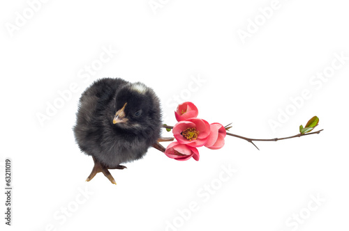 Black newborn baby chicken isolated on white