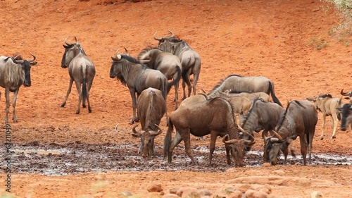 Blue wildebeest drinking at a waterhole