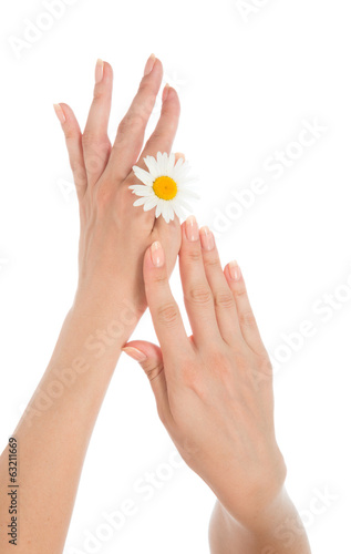 woman french manicured hands with fresh camomile daisy flower i