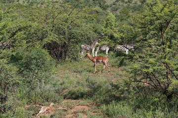 Impala with zebras