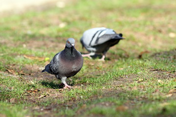 male pigeon looking for mate in the park