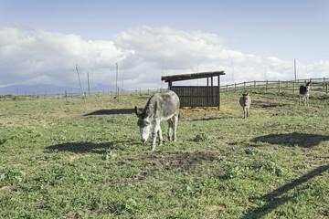 Herd of donkeys