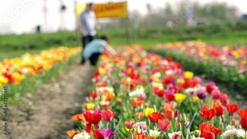 Couple visiting tulip garden field near Amsterdam, Holland