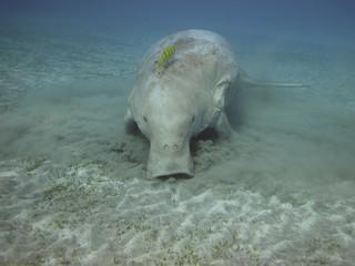 Dugong on the sea bottom