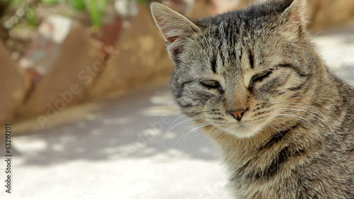 Domestic cat - close up
