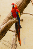 Ara papegaai