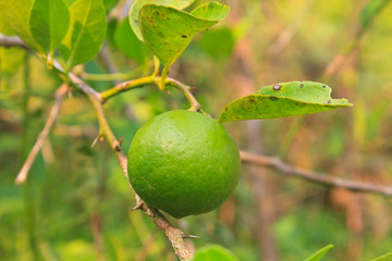 green lemon on the lemon tree in organic farm