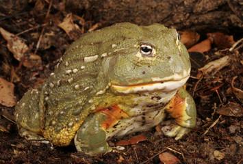 African Bullfrog.