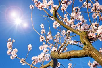 Mandelblüten in der Pfalz und Frühlingshimmel :)