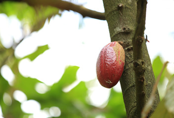 cacao pods grow on tree