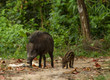 Family of boars in the forest on Tarutao island