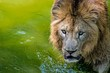 African lion in the water