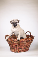 Fawn pug standing in the basket